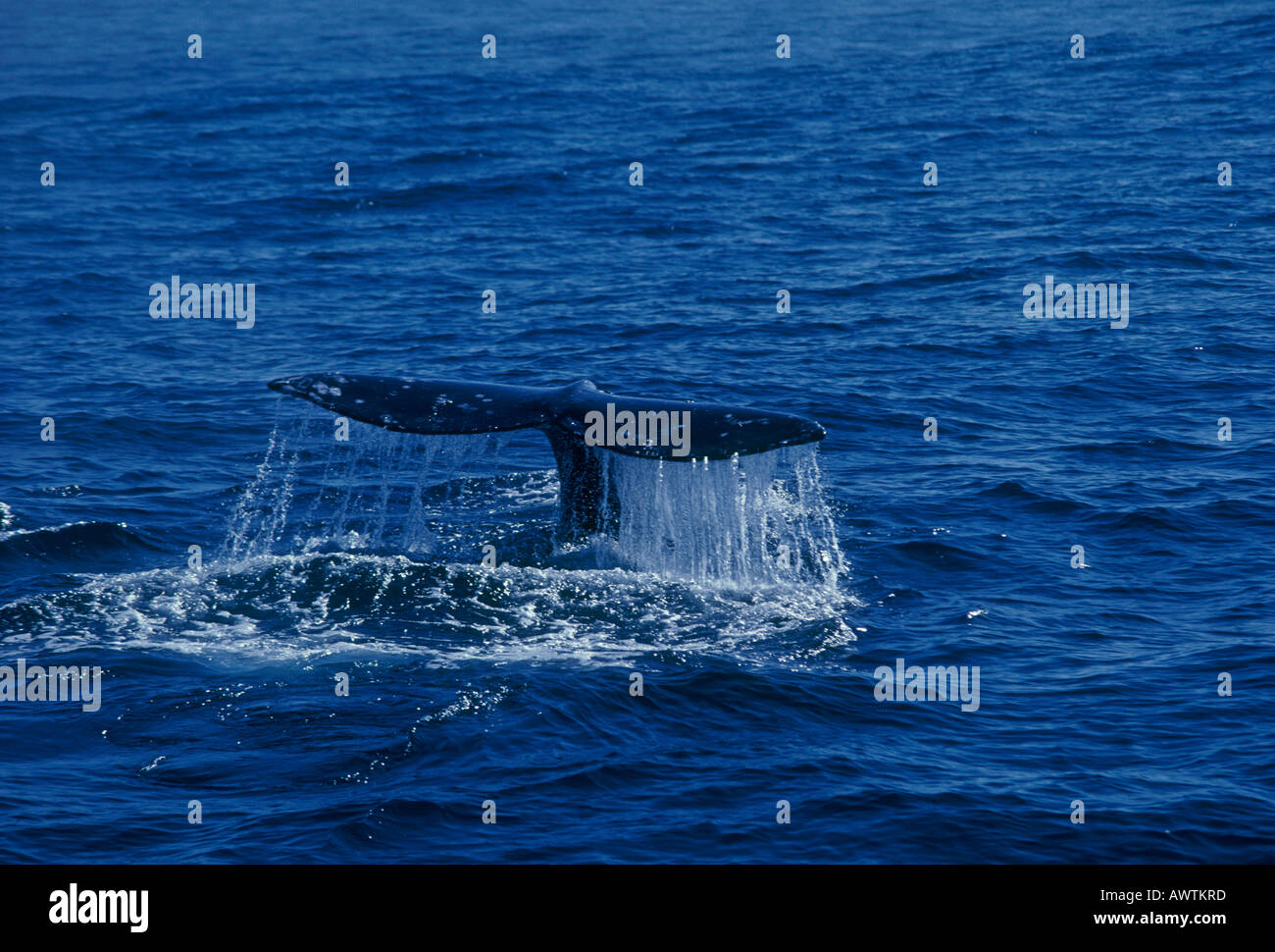 whale, whales, whale watching, Pacific coast, Pacific Ocean, Monterey, Monterey Bay, California, United States, North America - Stock Image