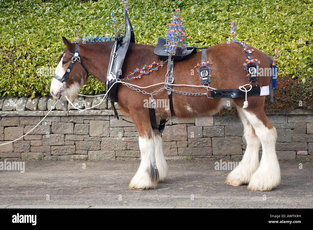 Clydesdale horse Lanarkshire, Scotland. A horse harness or tack  allows a horse to be driven or pull various horse - Stock Image