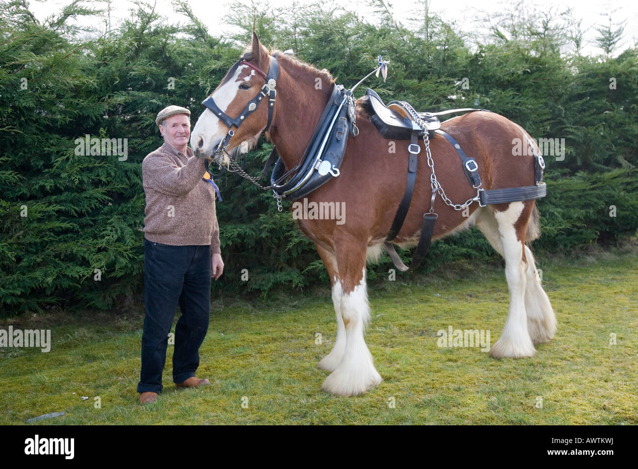 Clydesdale Shire Horse in Harness with Scottish Handler, Scotland, UK - Stock Image