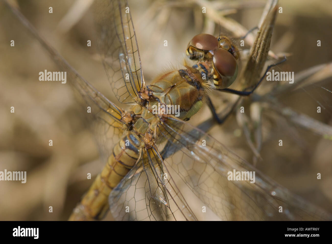 Female Common Darter dragonfly (Sympetrum striolatum) warming up in the sun whilst perching on dead gorse. Stock Photo