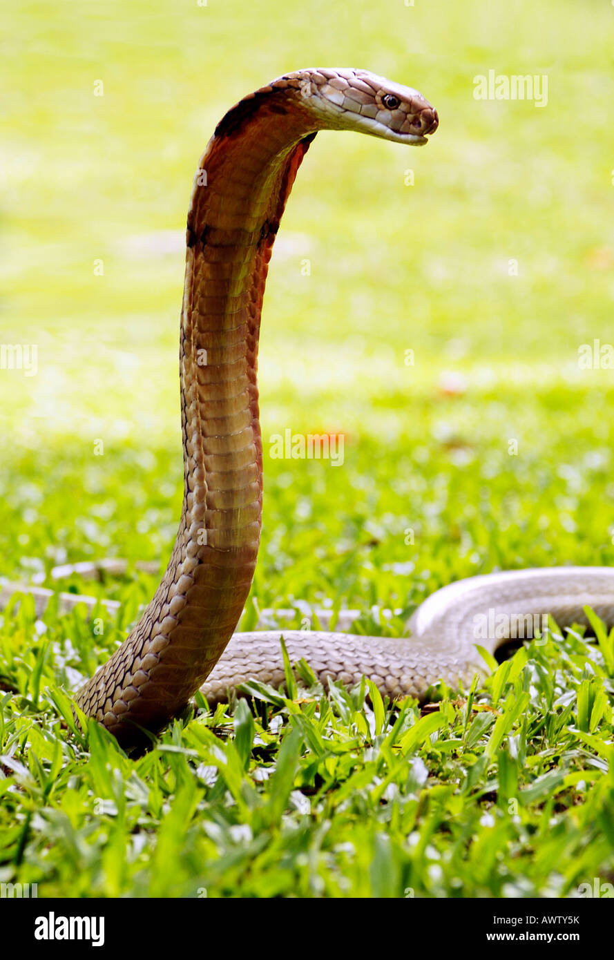 King Cobra Snake Green Grass Stock Photos & King Cobra Snake