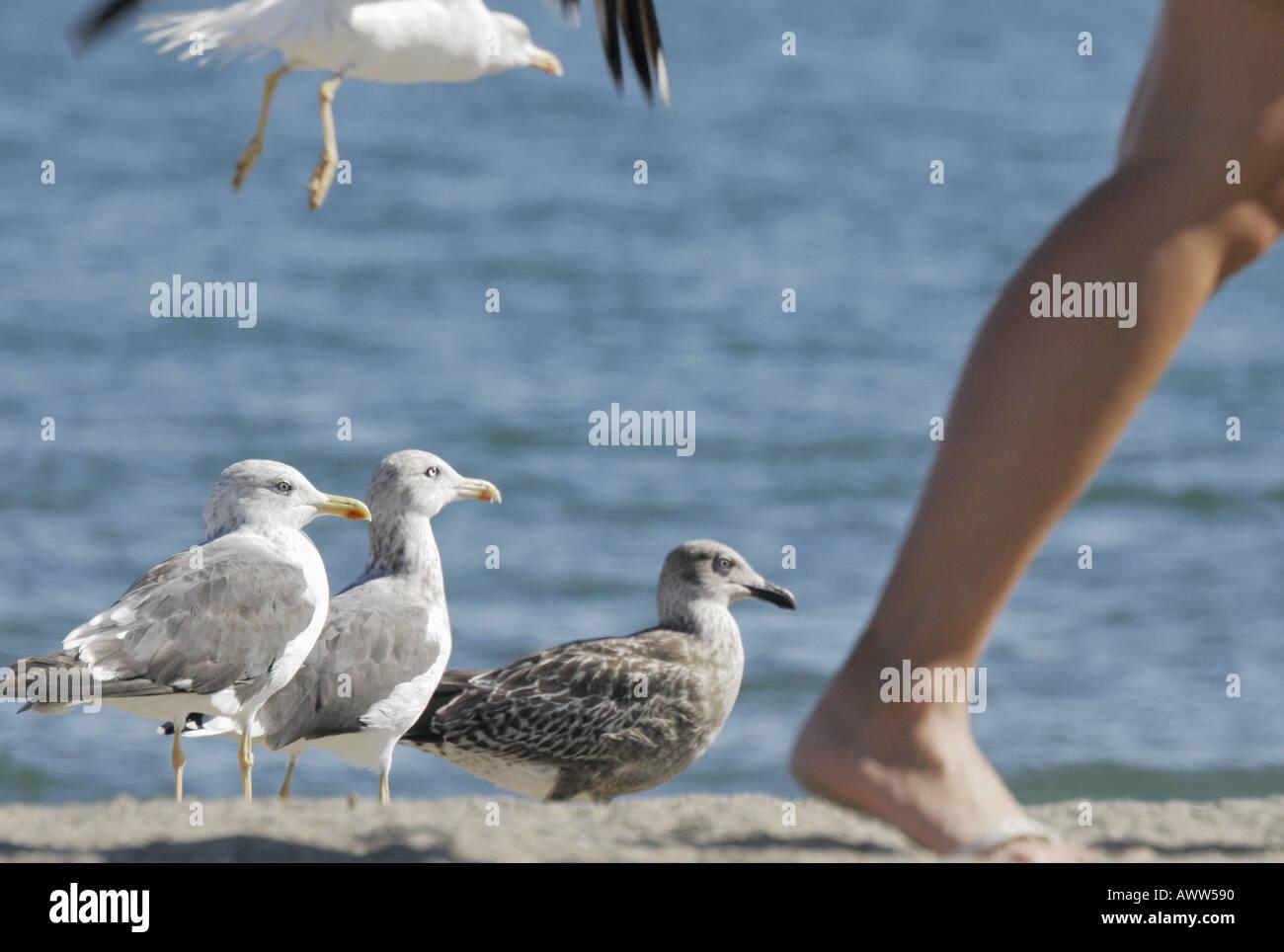 Seagulls looking at person walking - Stock Image