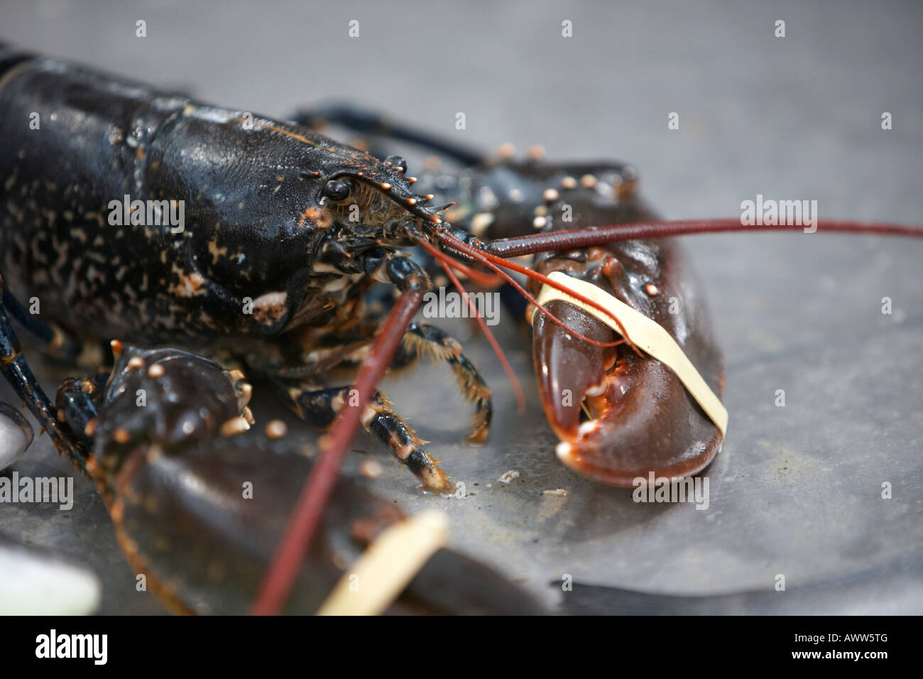 fresh live lobster with claws tied up sitting on a fishmongers fresh fish stall at an indoor market - Stock Image