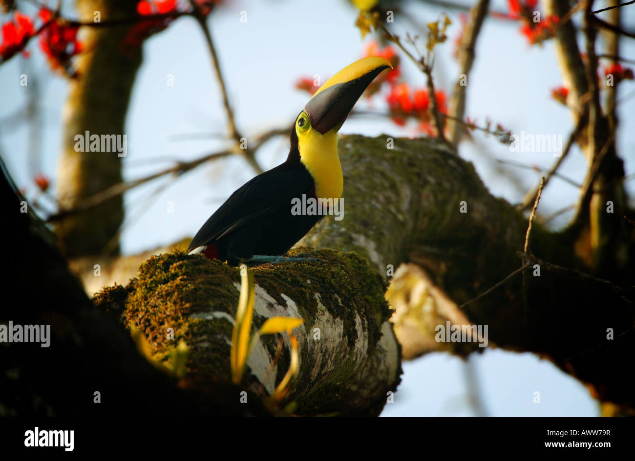 Chestnut-mandibled toucan near Cana field station in Darien national park, Republic of Panama - Stock Image