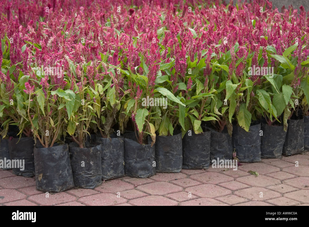 Blooming Red Celosia Flowers In Plastic Containers Cockscombs Stock
