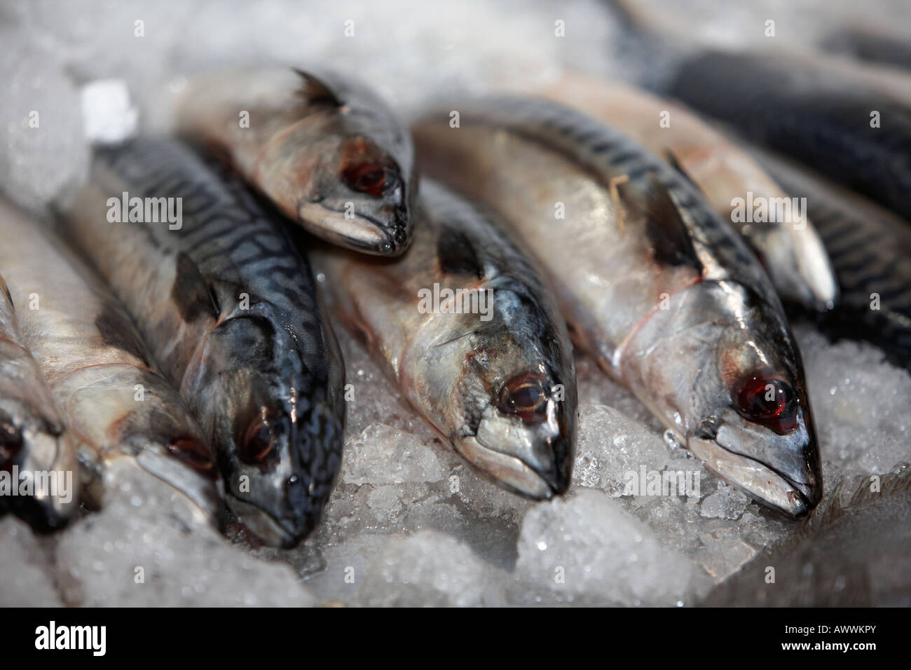 row of mackerel on a bed of ice on a fishmongers fresh fish stall at an indoor market - Stock Image