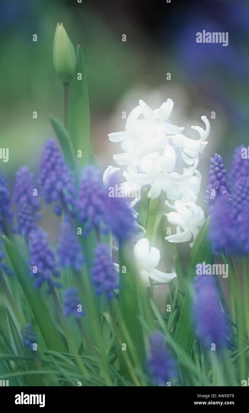 Jacinthe and grape hyacinth (Hyacinthus orientalis & Muscari racemosum), blooming, double exposure Stock Photo