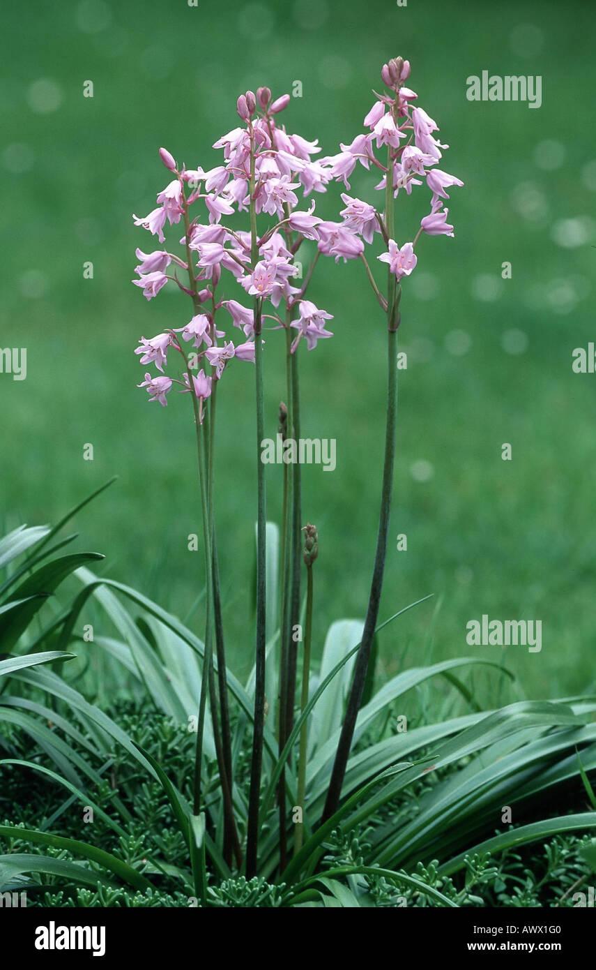 Hybrid Bluebell (Hyacinthoides x massartiana, Hyacinthoides x variabilis, Hyacinthoides hispanica x Hyacinthoides Stock Photo