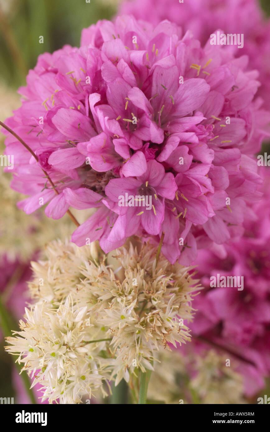 Armeria hybrida 'Bee's Hybrids'  (Sea pink, Thrift) and Luzula nivea (Snowy woodrush) - Stock Image