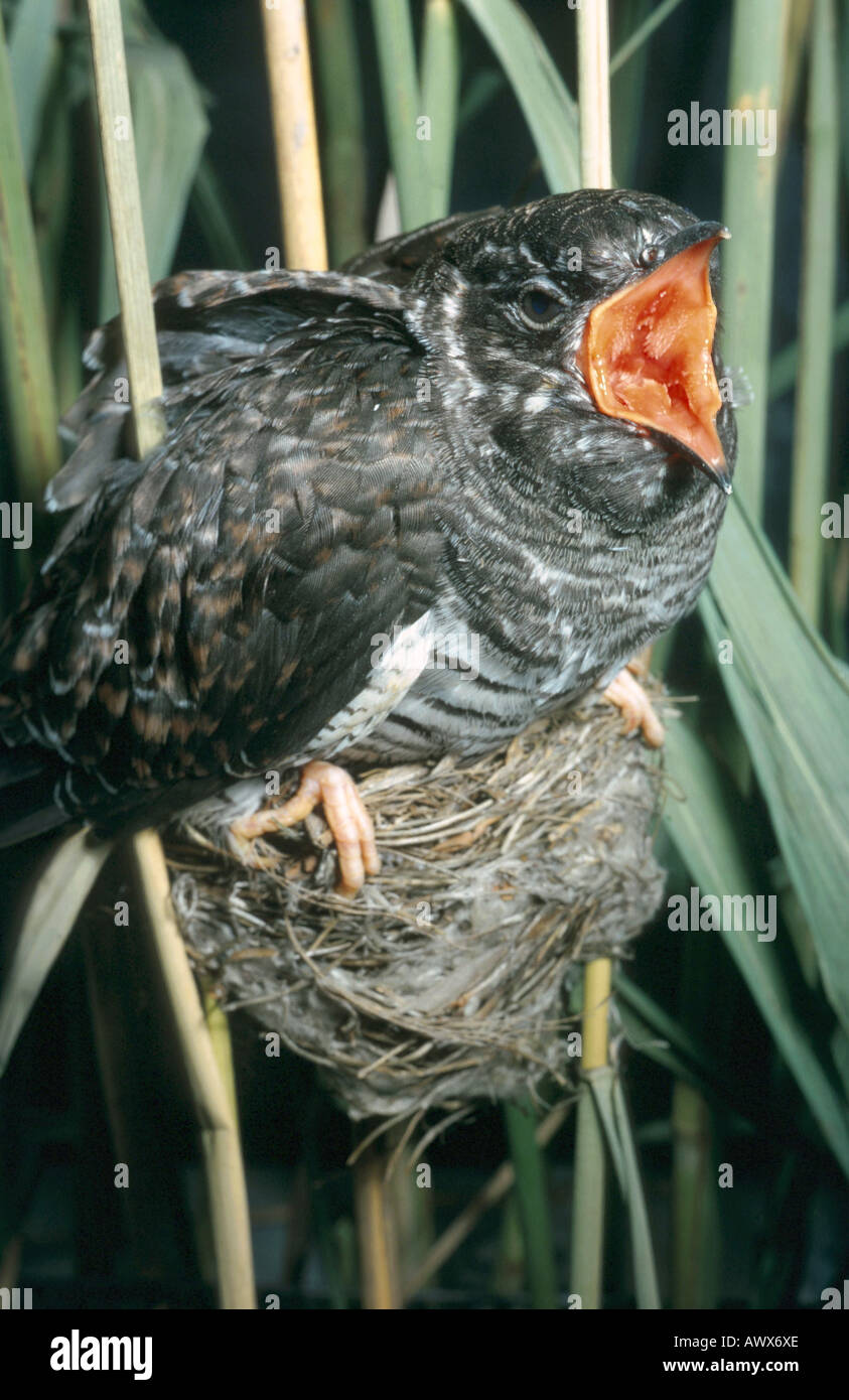 Eurasian cuckoo (Cuculus canorus), begging squeaker in a reed warblers nest - Stock Image