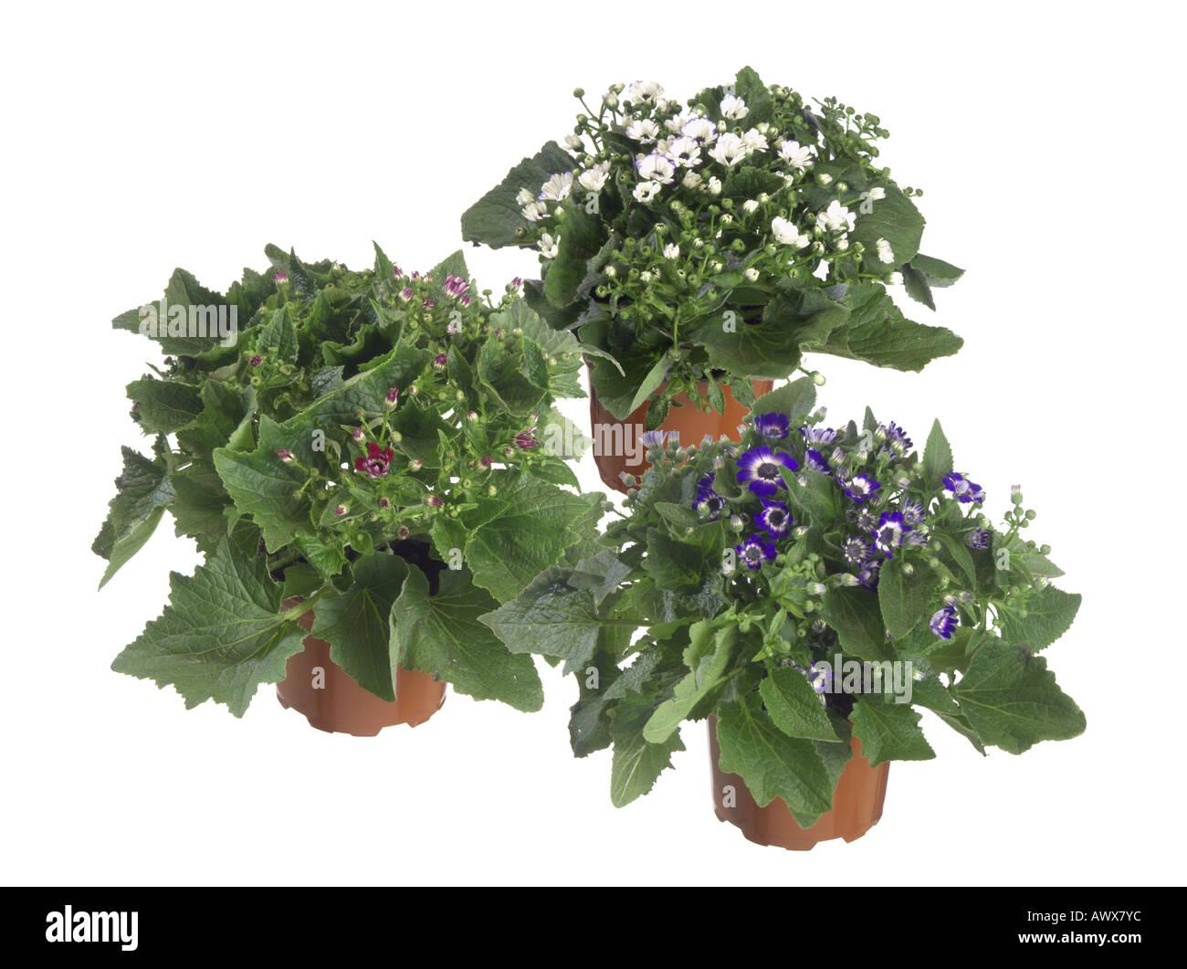 Cineraria, Common Ragwort (Pericallis x hybrida, Pericallis hybrida, Senecio x hybridus, Senecio hybridus), potted plant, diffe - Stock Image
