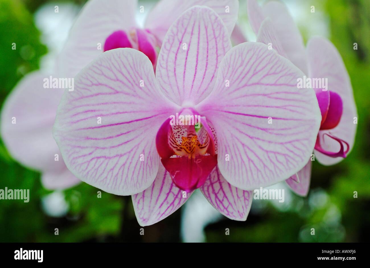 Phalaenopsis acrab x mad hatter - Stock Image