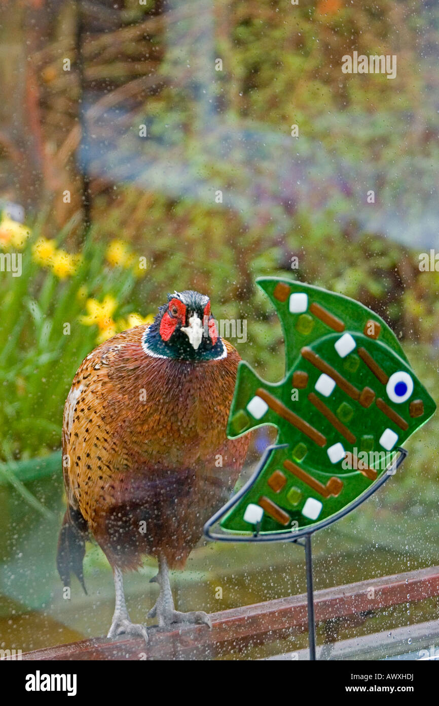 A cheeky male pheasant Phasianus colchicus peers through a conservatory window Stock Photo