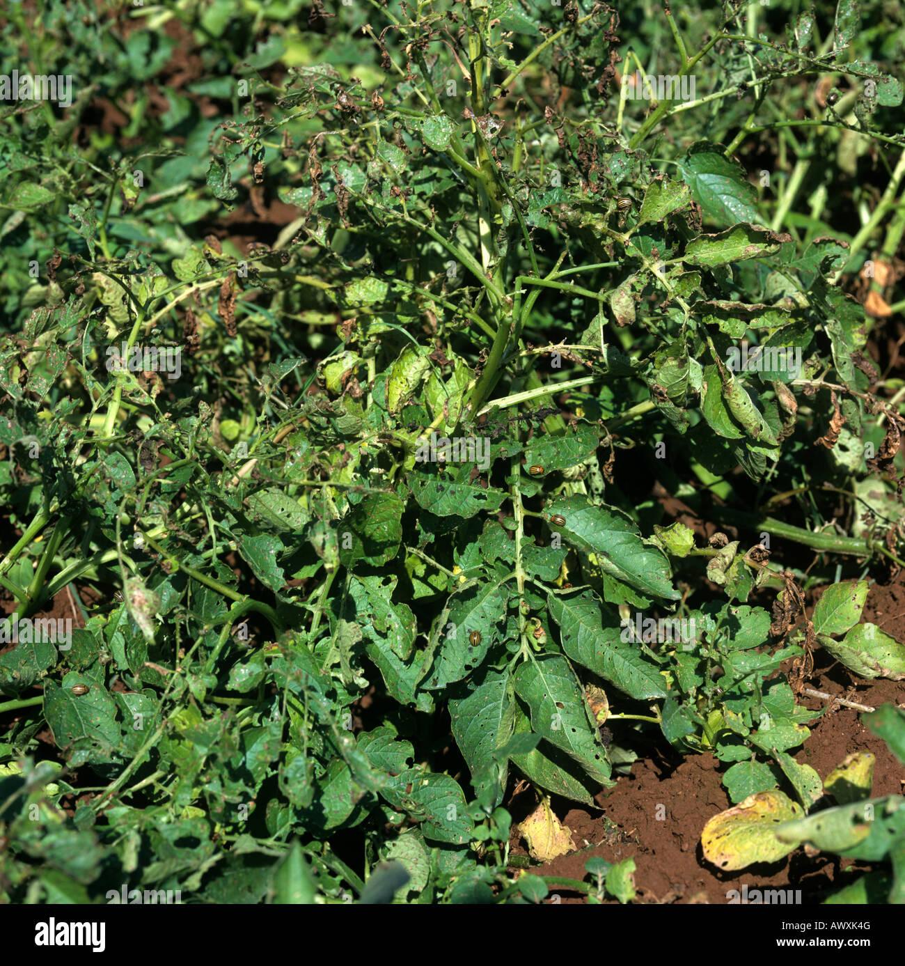 Colorado beetle Leptinotarsa decemlineata potato plant damage by adults larvae - Stock Image