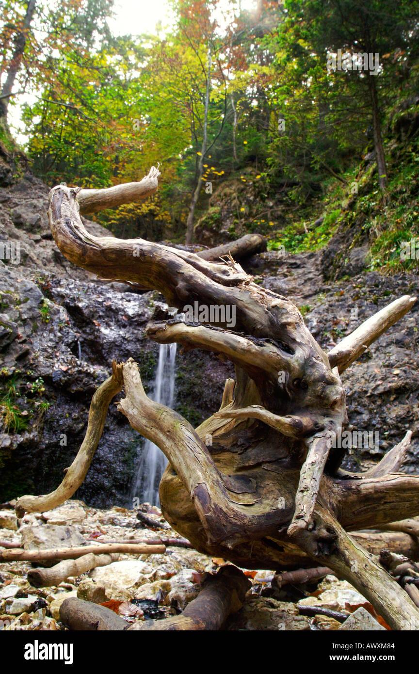 Bent mystic dragon shape of dead wood, autumnal Horne Diery Gorge, Slovakia Stock Photo