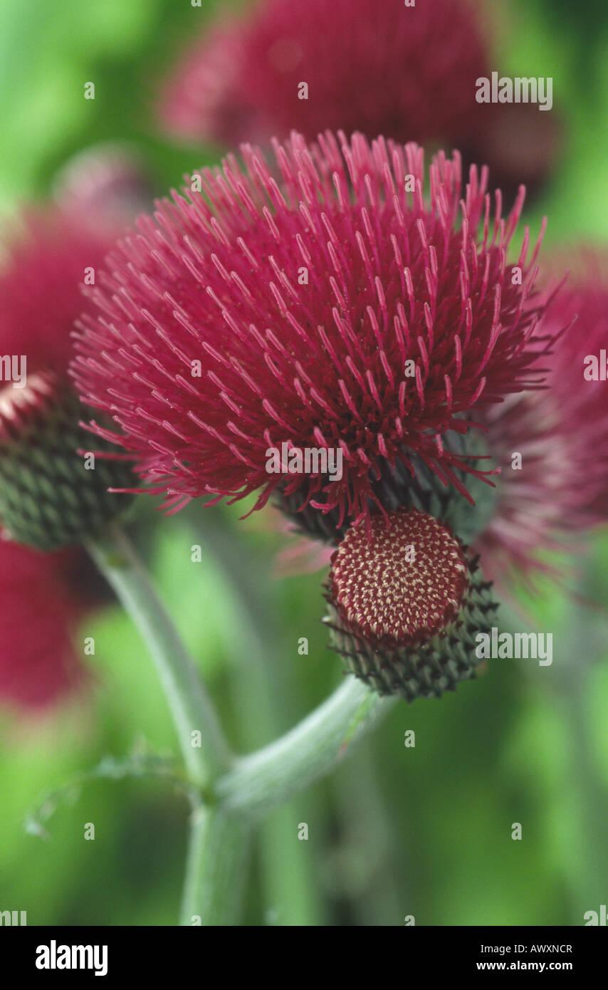 Cirsium rivulare 'Atropurpureum' - Stock Image