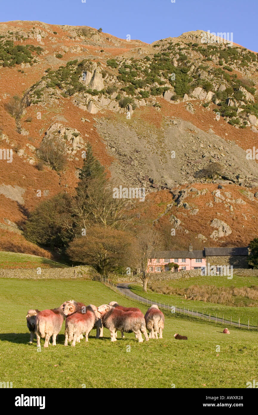 Herdwick Rams in Little Langdale, in front of a traditional lakeland farmhouse,  Lake district, Cumbria, UK Stock Photo