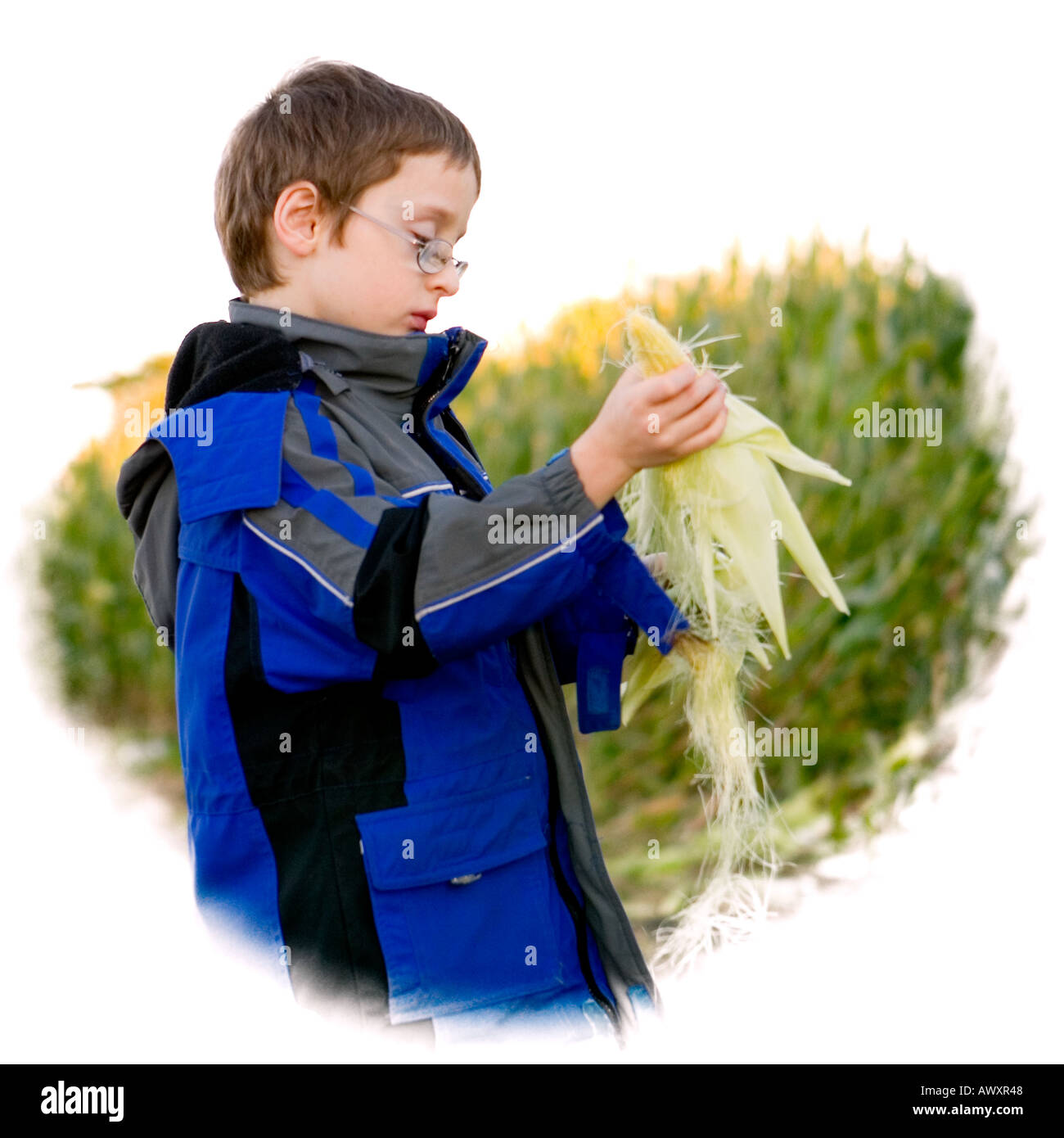 young boy in a cornfield taking the husk off an ear of corn RESTRICTIONS NO AGRICULTURAL INDUSTRY USAGE - Stock Image