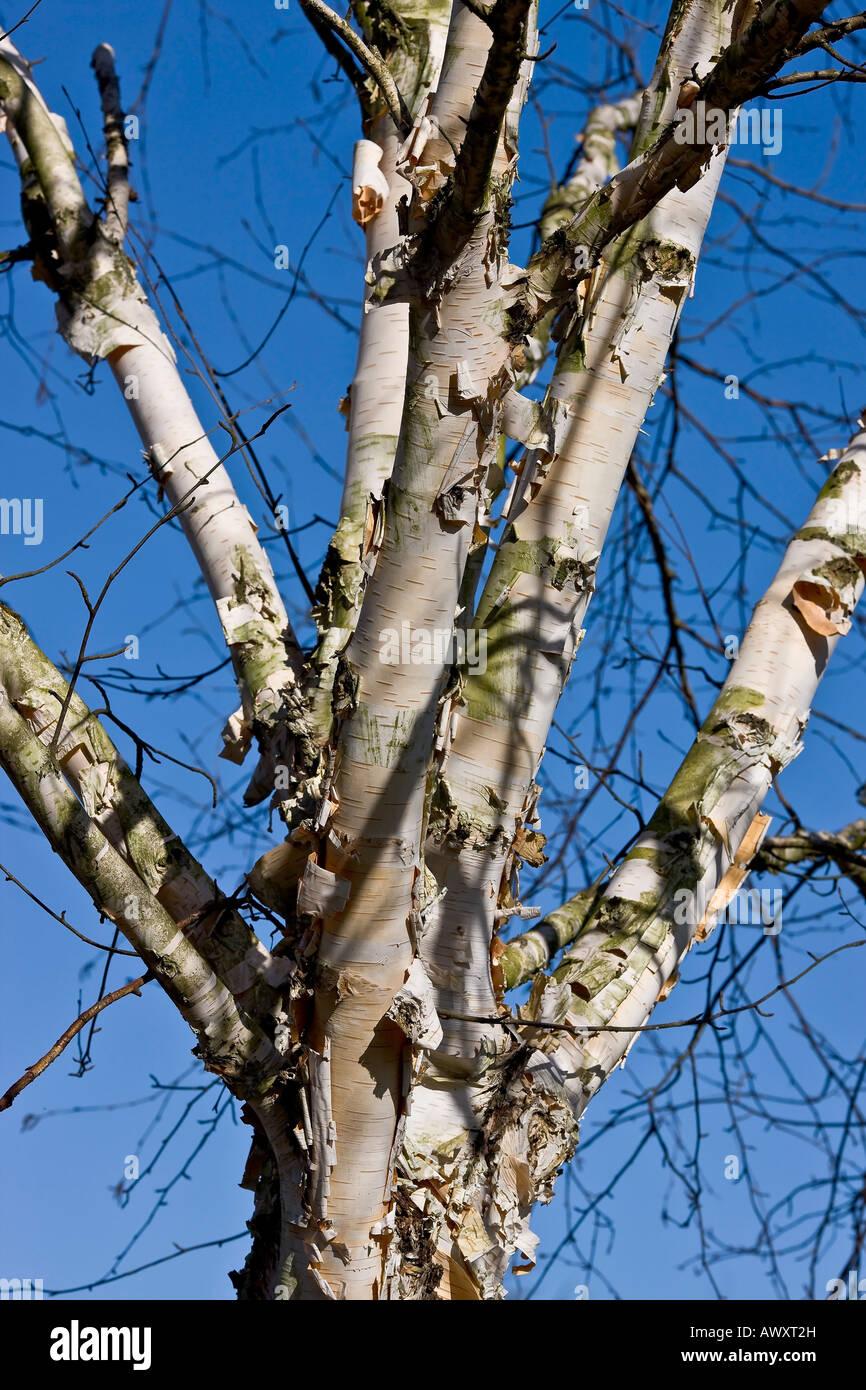 Birch tree on blue sky - Stock Image