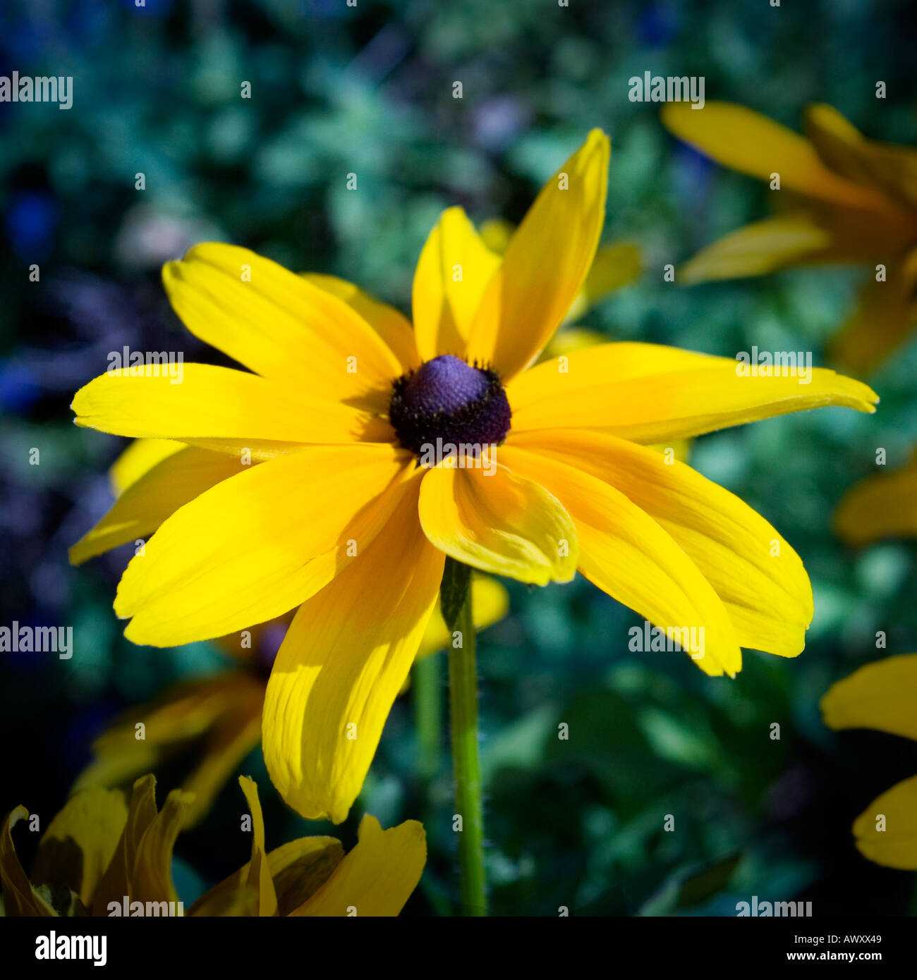 Bright yellow flower with purple and black center stock photo bright yellow flower with purple and black center mightylinksfo