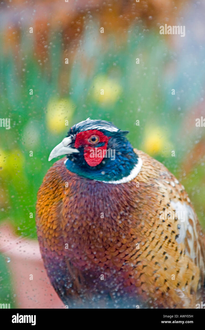 A portrait format view of a cheeky pheasant Phasianus colchicus peers through a conservatory window - Stock Image