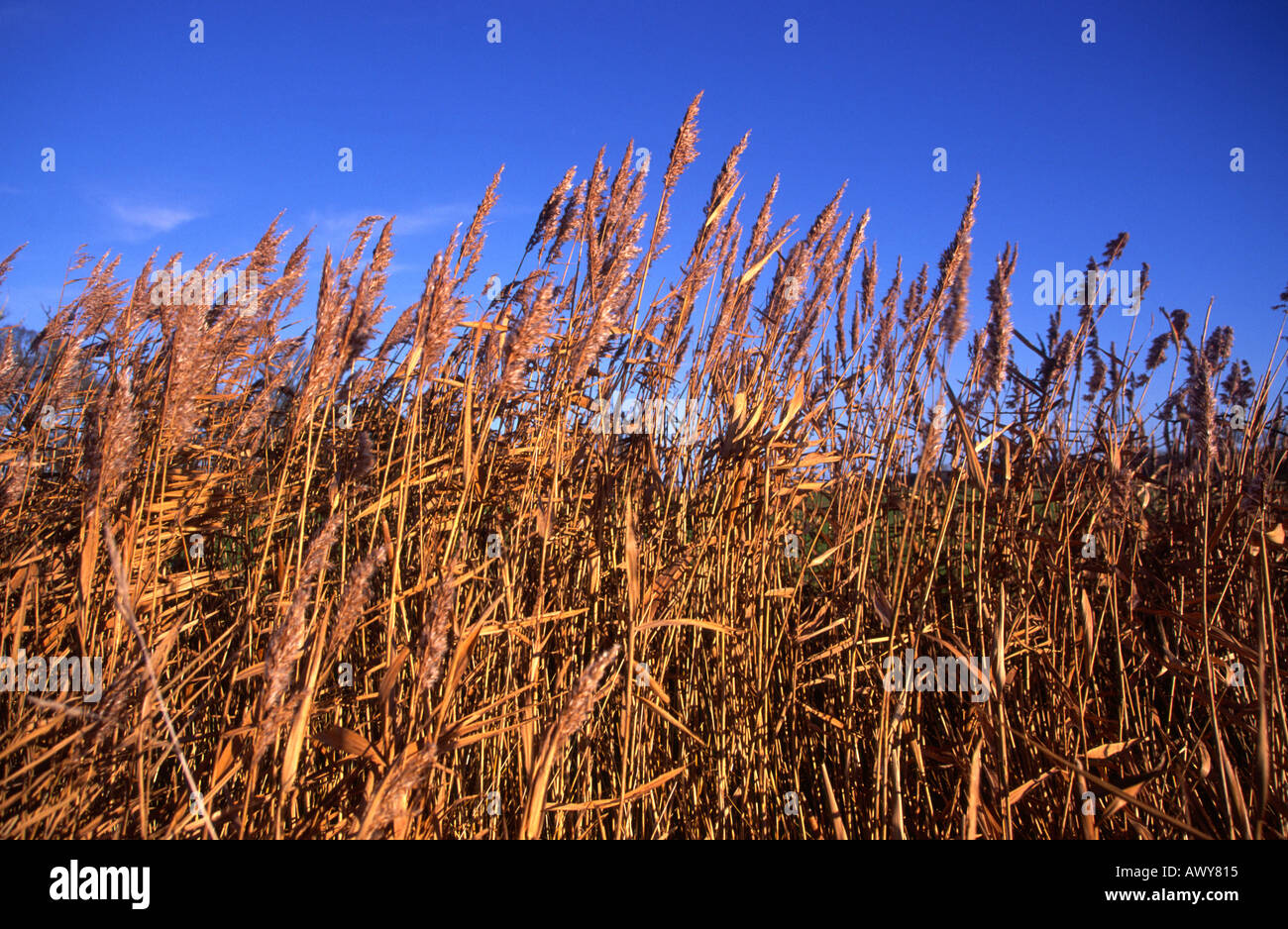 Side view of reed beds against blue sky Snape Suffolk England - Stock Image