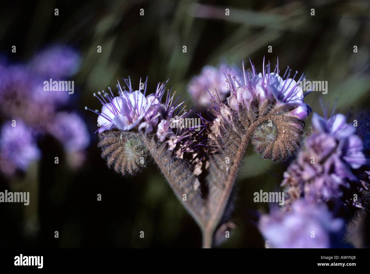 Wild Heliotrope. Phacelia Stock Photo