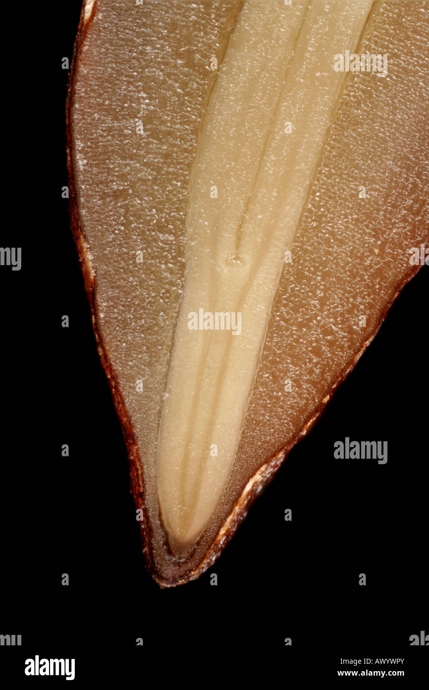 Macro photo of an olive seed in cross section, showing radicle, shoot apex, and endosperm. Stock Photo