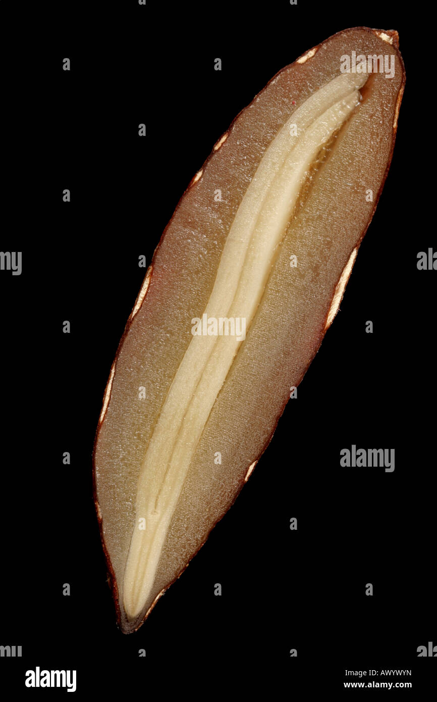 Macro photo of an olive seed in cross section, showing radicle, epicotyl, and endosperm. Stock Photo