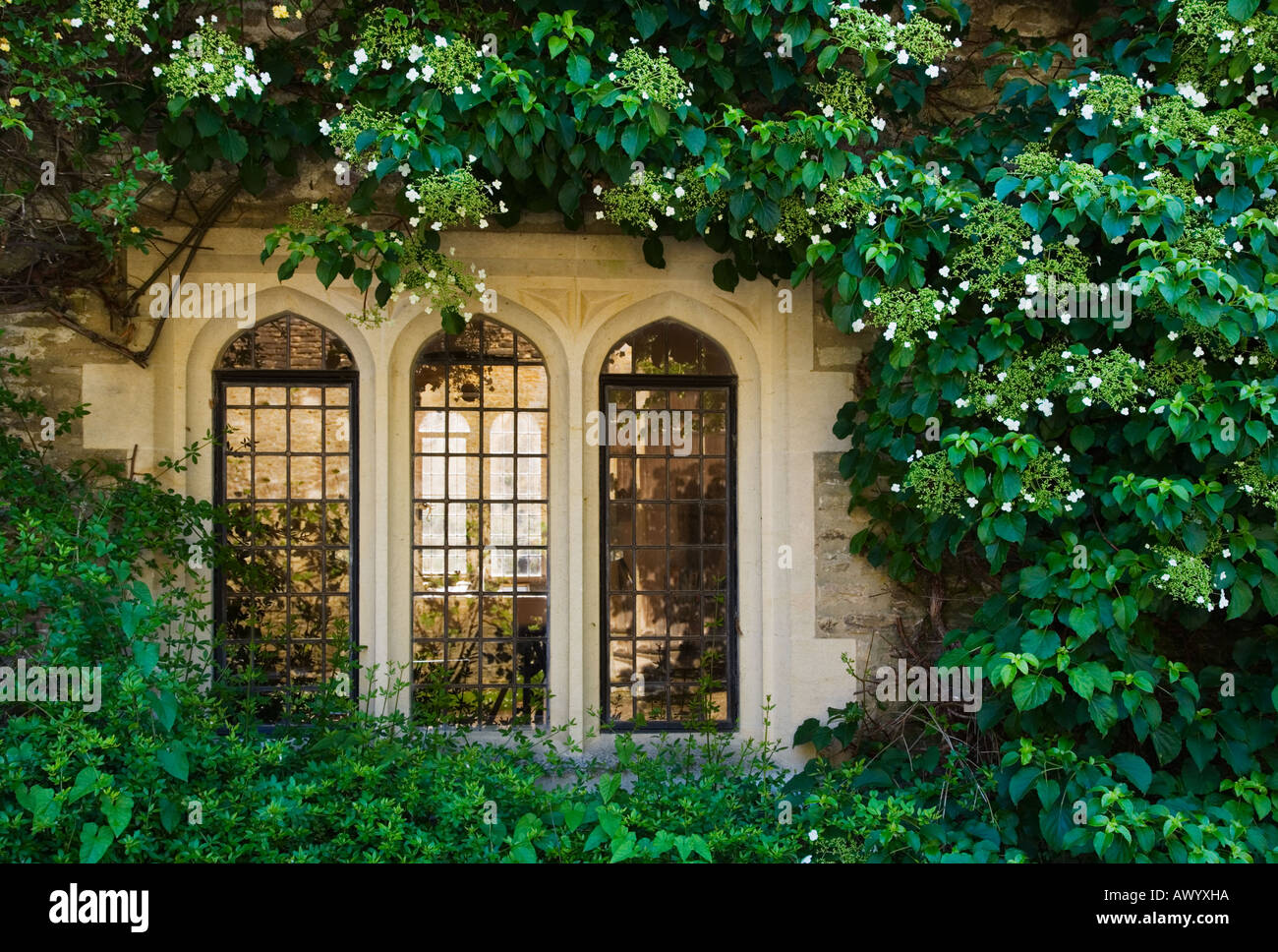 Hydrangea petiolaris clmbing over the stone walls and three transomed lights of a window at C15th Great Chalfield Manor - Stock Image