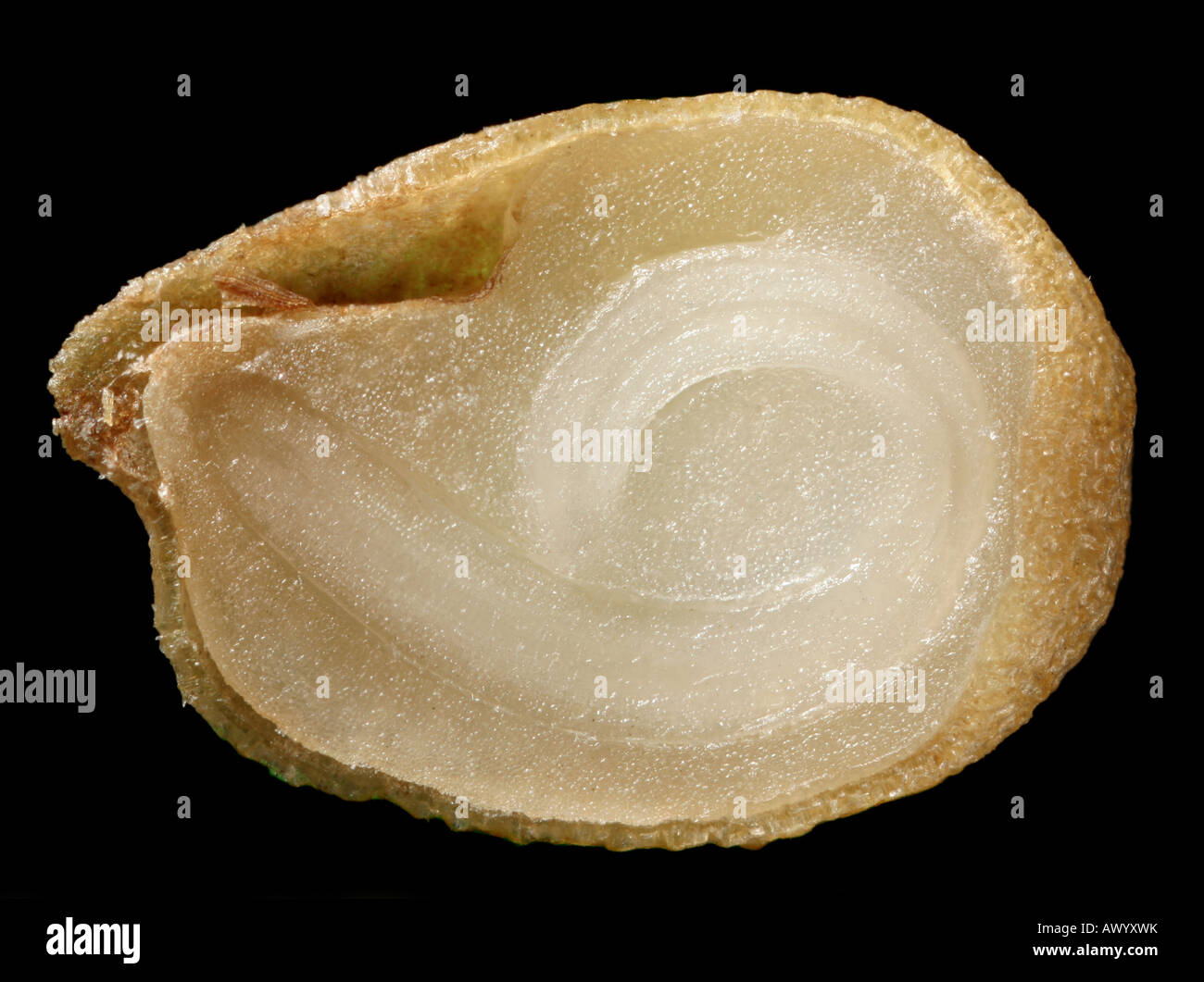 Hot pepper seed, cross section. Stock Photo