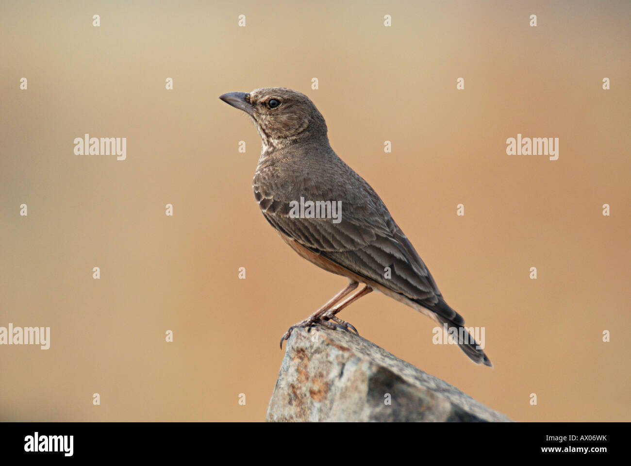 The Rufous-tailed Lark, Ammomanes phoenicurus, is a ground bird found in open stony country and low rocky hills - Stock Image