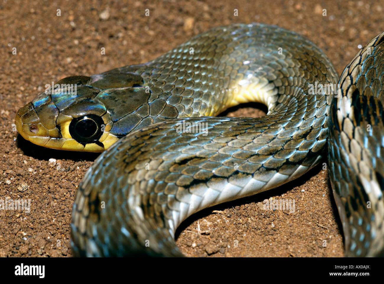 STRIPED KEELBACK Amphiesma stolatum Non-venomous, Common