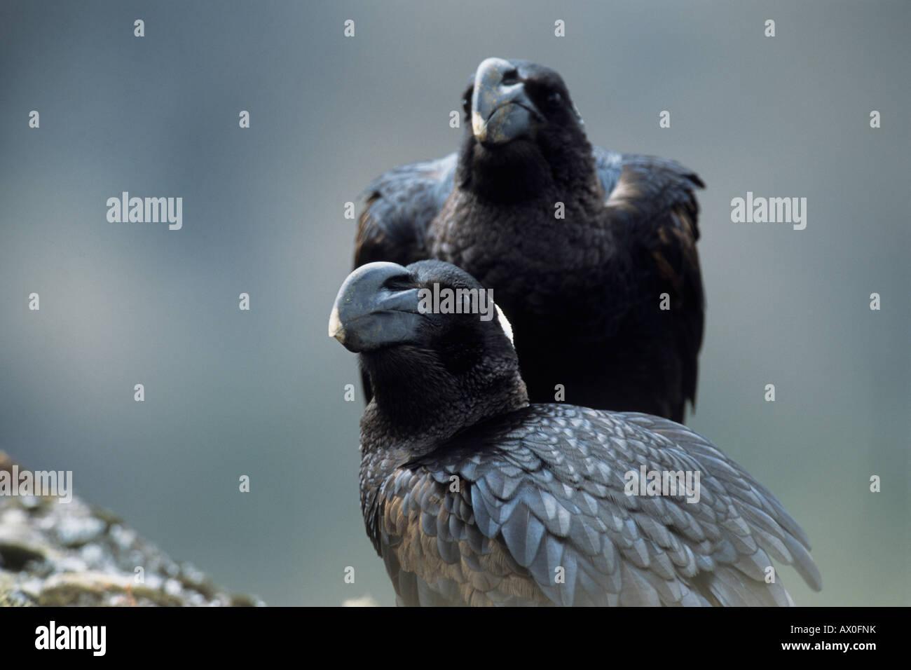 Pair of Thick-billed Raven (Corvus crassirostris), portrait, largest songbird, semi-endemic, Semien Mountain Natinal - Stock Image