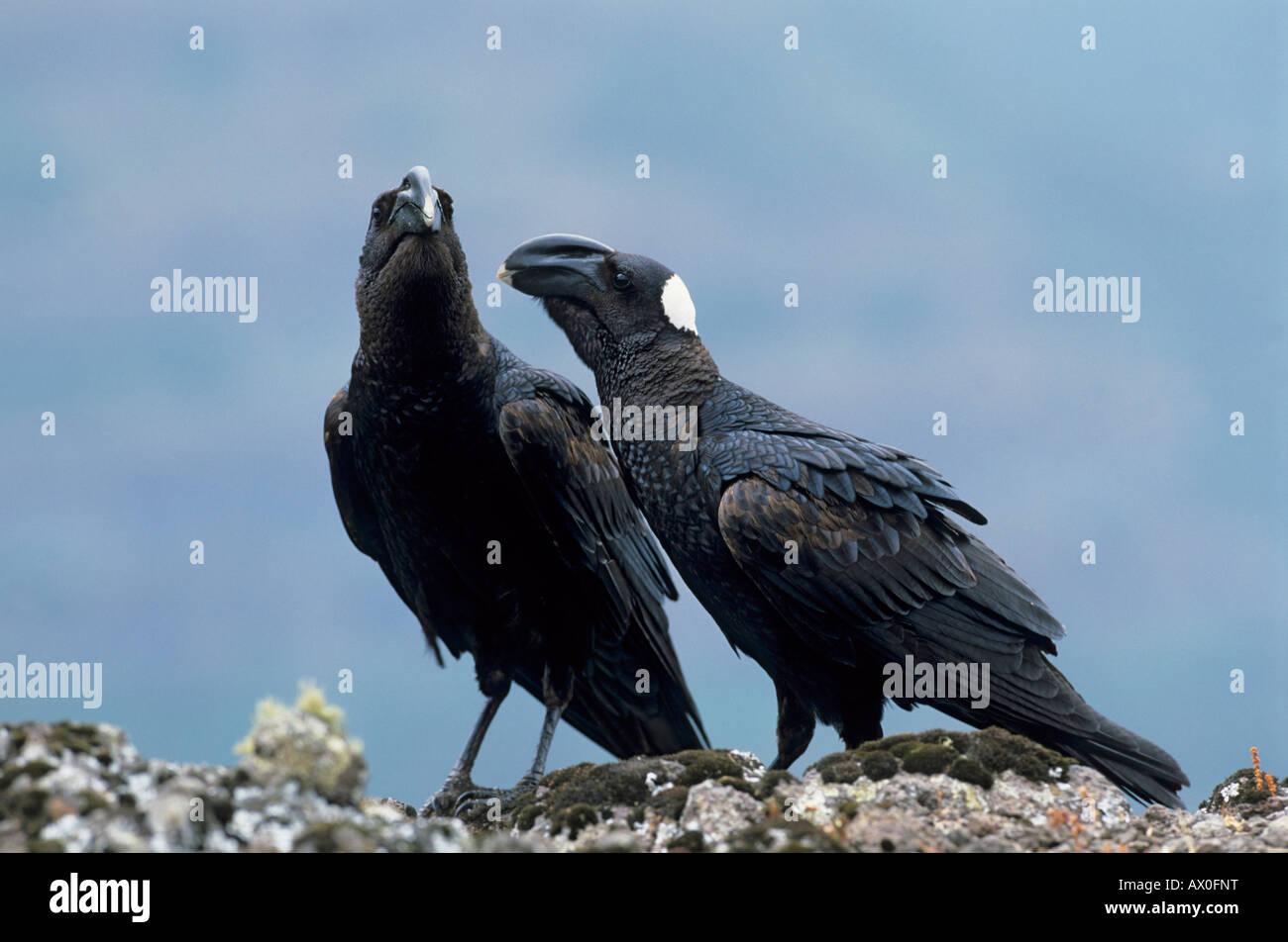 Pair of Thick-billed Raven (Corvus crasssirostris), Semien Mountain Natinal Park, Ethiopian - Stock Image