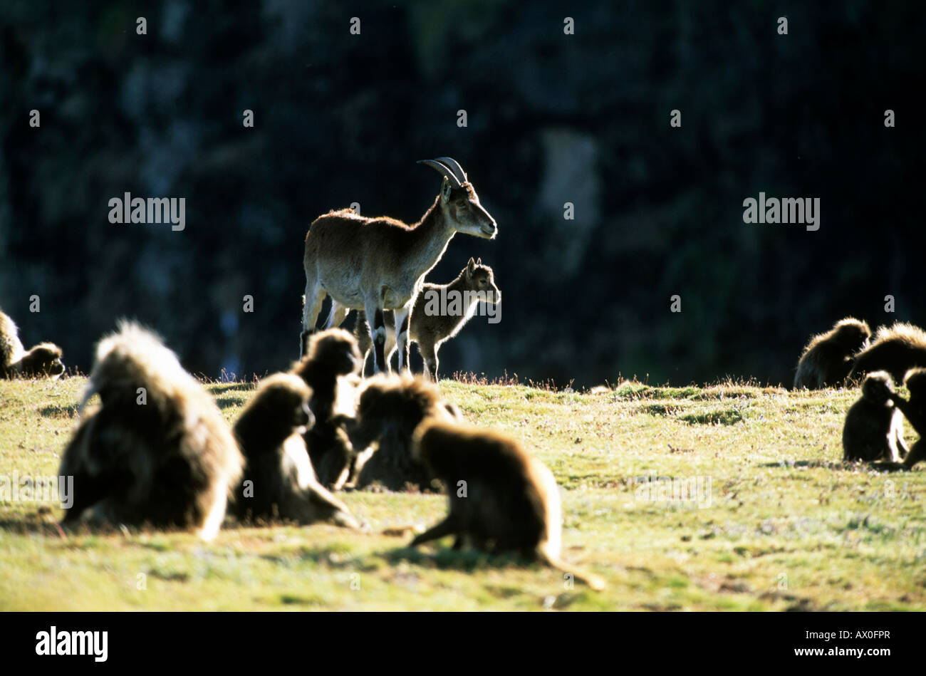Ethiopien Ibex (Capra walie), Female Walia with young on backlight with Geladas in front, critically endangered - Stock Image