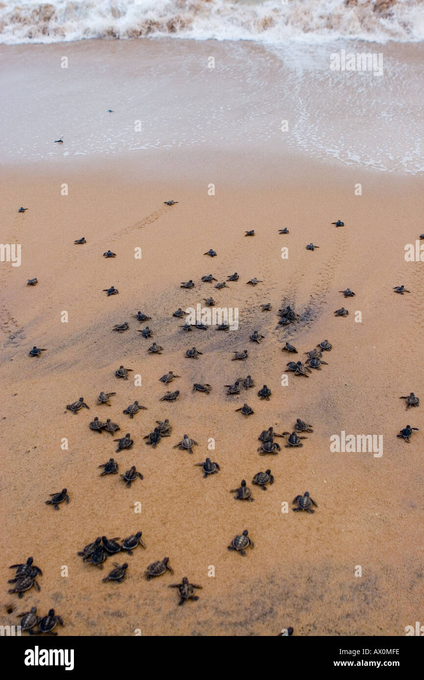 Newly hatched green sea turtles are released into the Indian Ocean at Kosgoda Beach Galle Sri Lanka Stock Photo