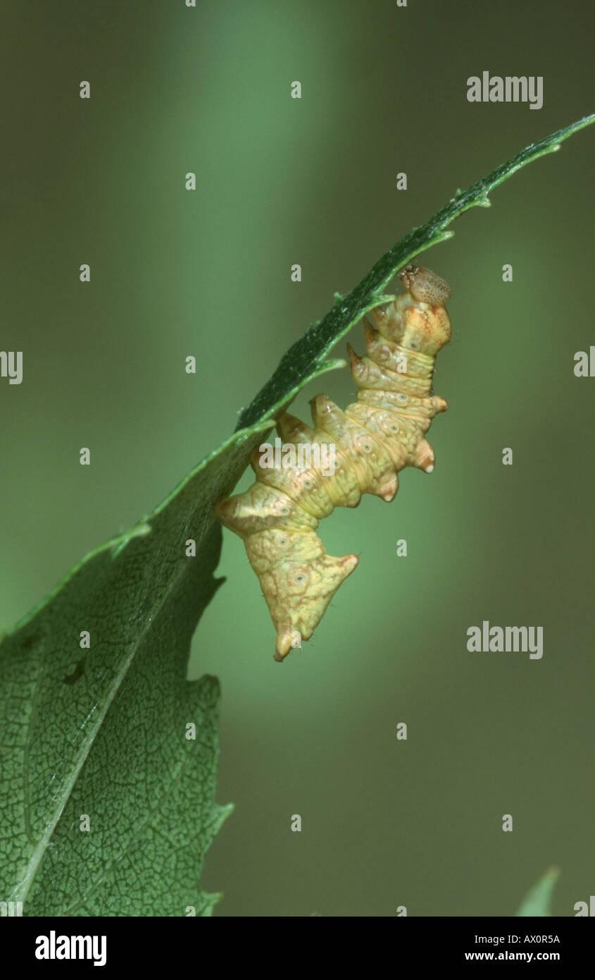 iron prominent (Notodonta dromedaries), caterpillar. - Stock Image