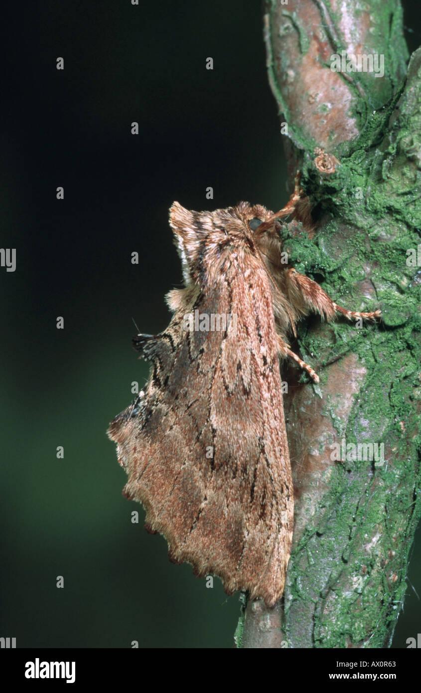 coxcomb prominent (Ptilodon capucina), imago. - Stock Image