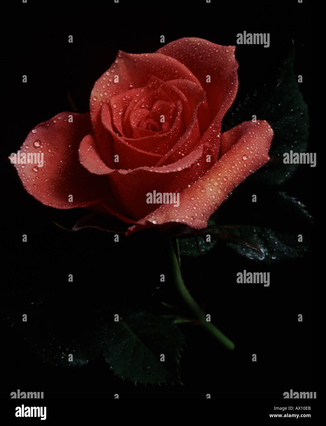 Pink rose with black background and Water droplets - Stock Image