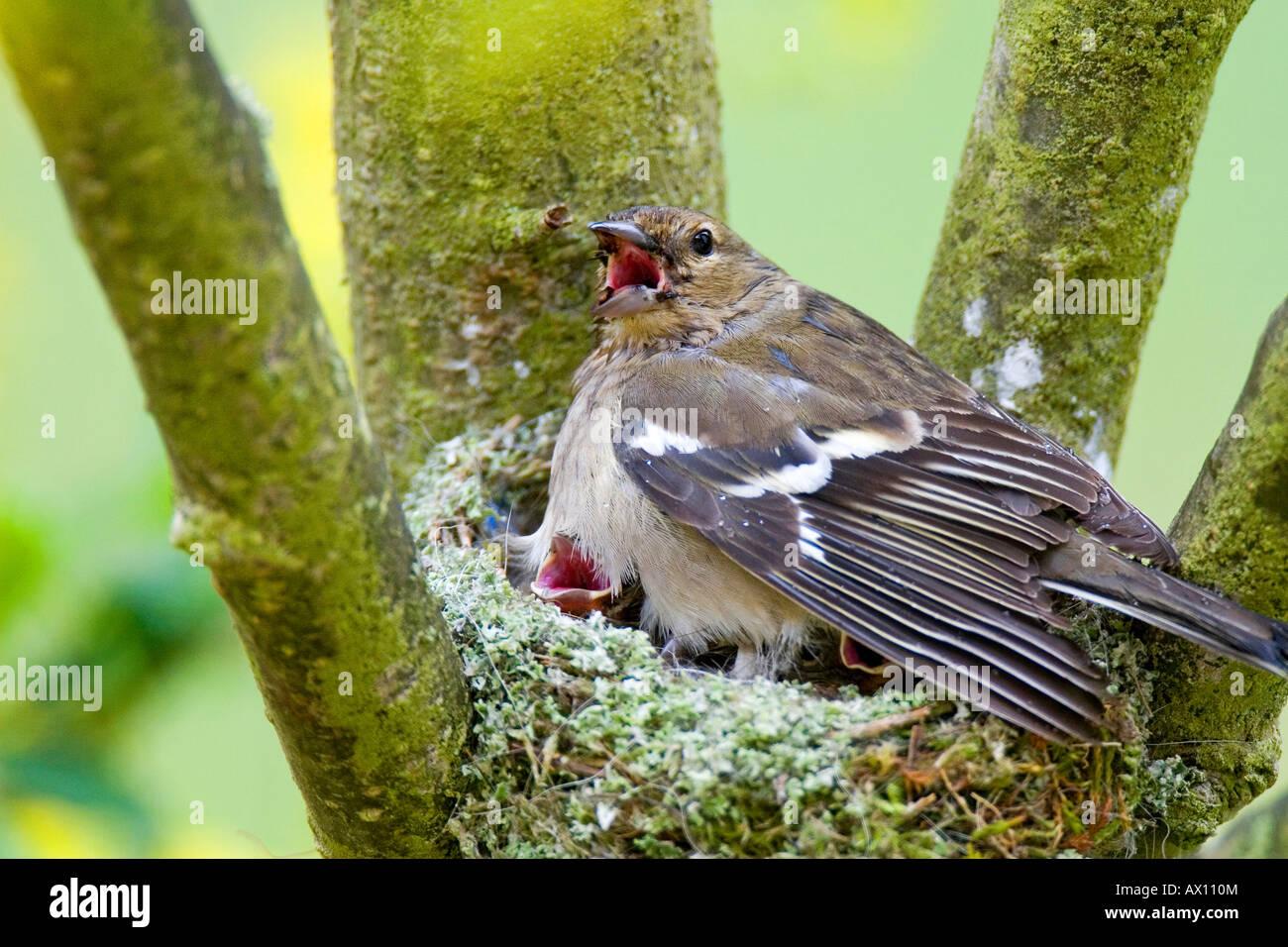Female Chaffinch (Fringilla coelebs) sitting in nest, Gillenfeld, Vulkaneifel, Germany, Europe - Stock Image
