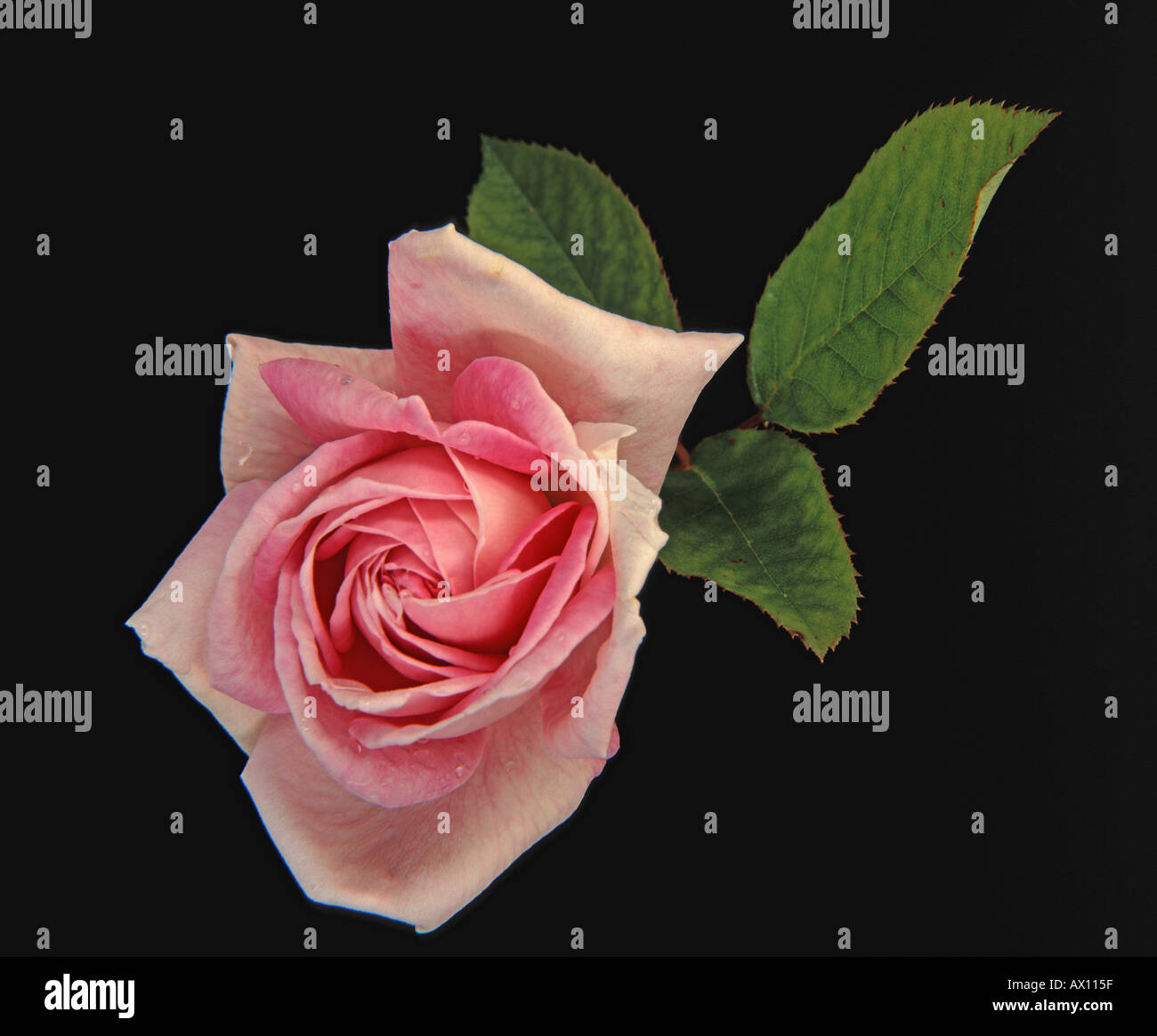 Pink Rose flower head with leaves - Stock Image