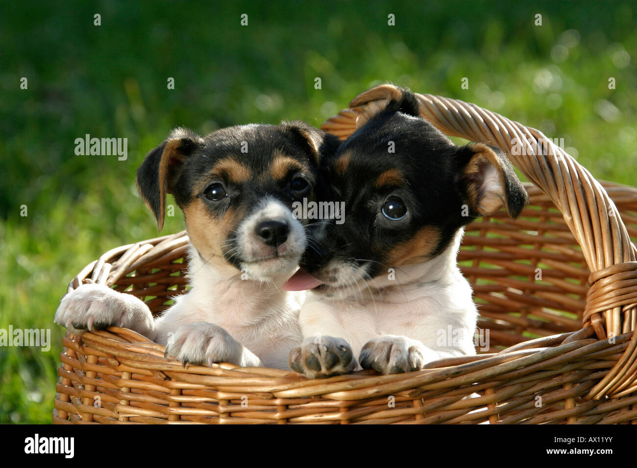 Two Jack Russell Terrier puppies in basket Stock Photo