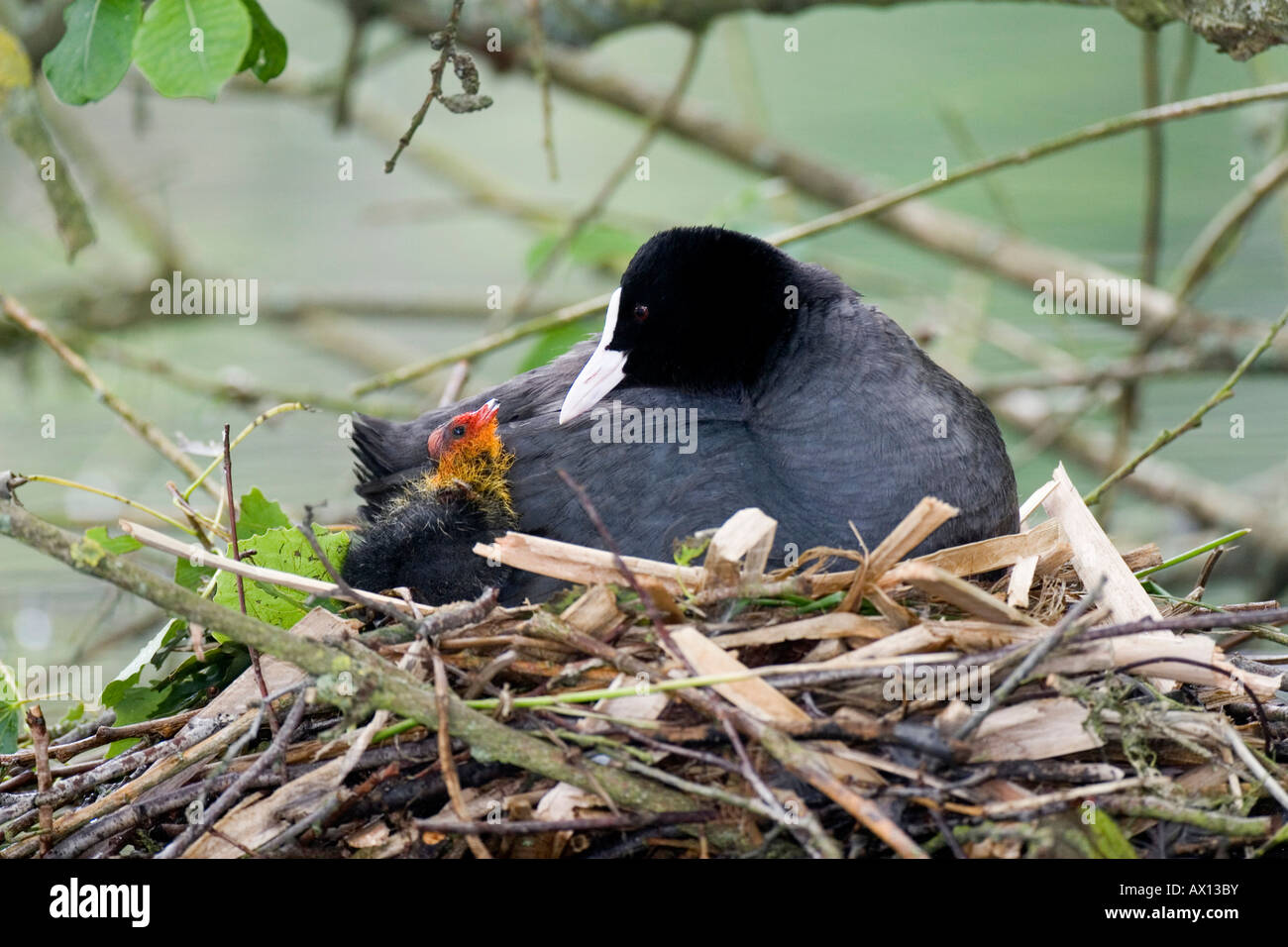 Eurasian Coot (Fulica atra) with chick sitting on the nest, Vulkaneifel, Germany Stock Photo
