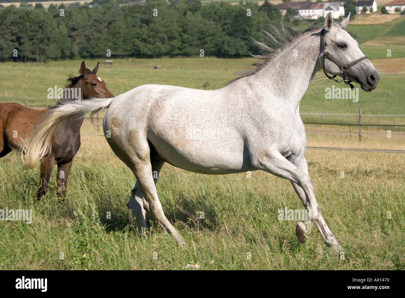 Oldenburg mare, white, galloping through meadow, brown foal behind her in Vulkaneifel, Germany, Europe - Stock Image