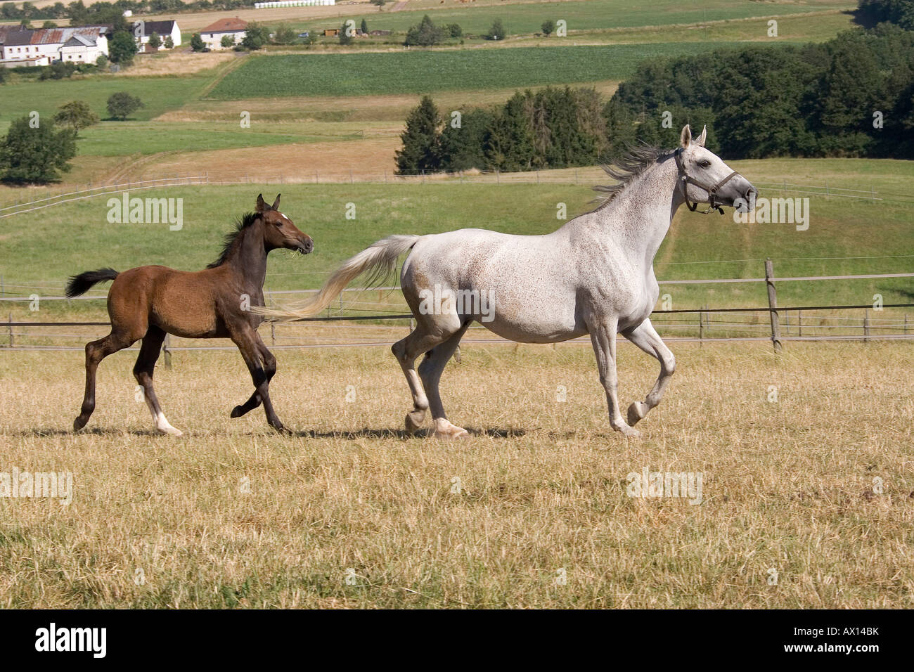 White mare and foal galloping through a meadow, Vulkaneifel, Germany, Europe - Stock Image