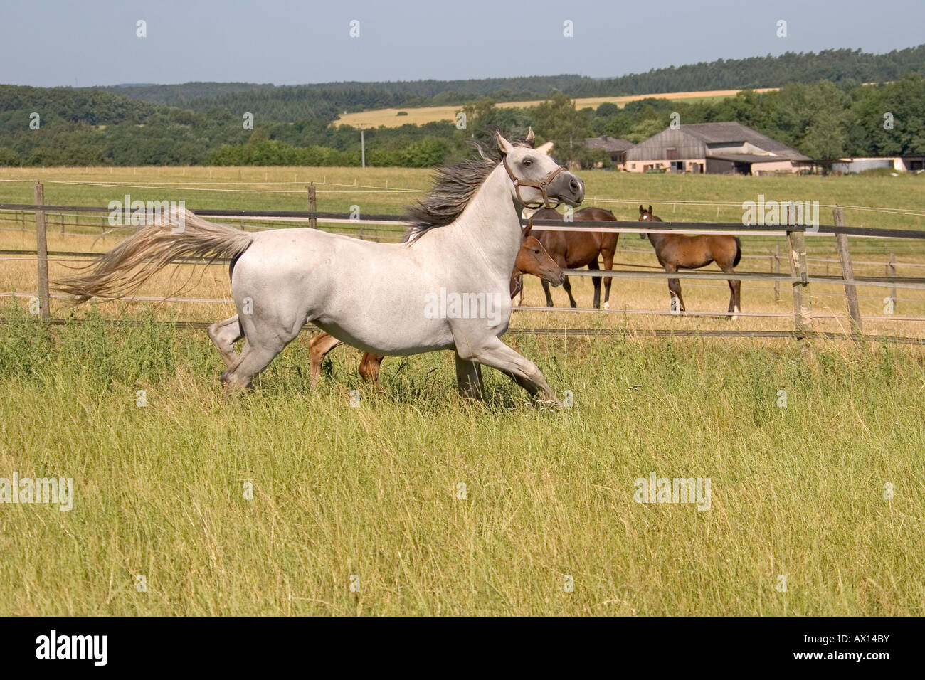 White mare and foal galopping through meadow, Vulkaneifel, Germany, Europe - Stock Image