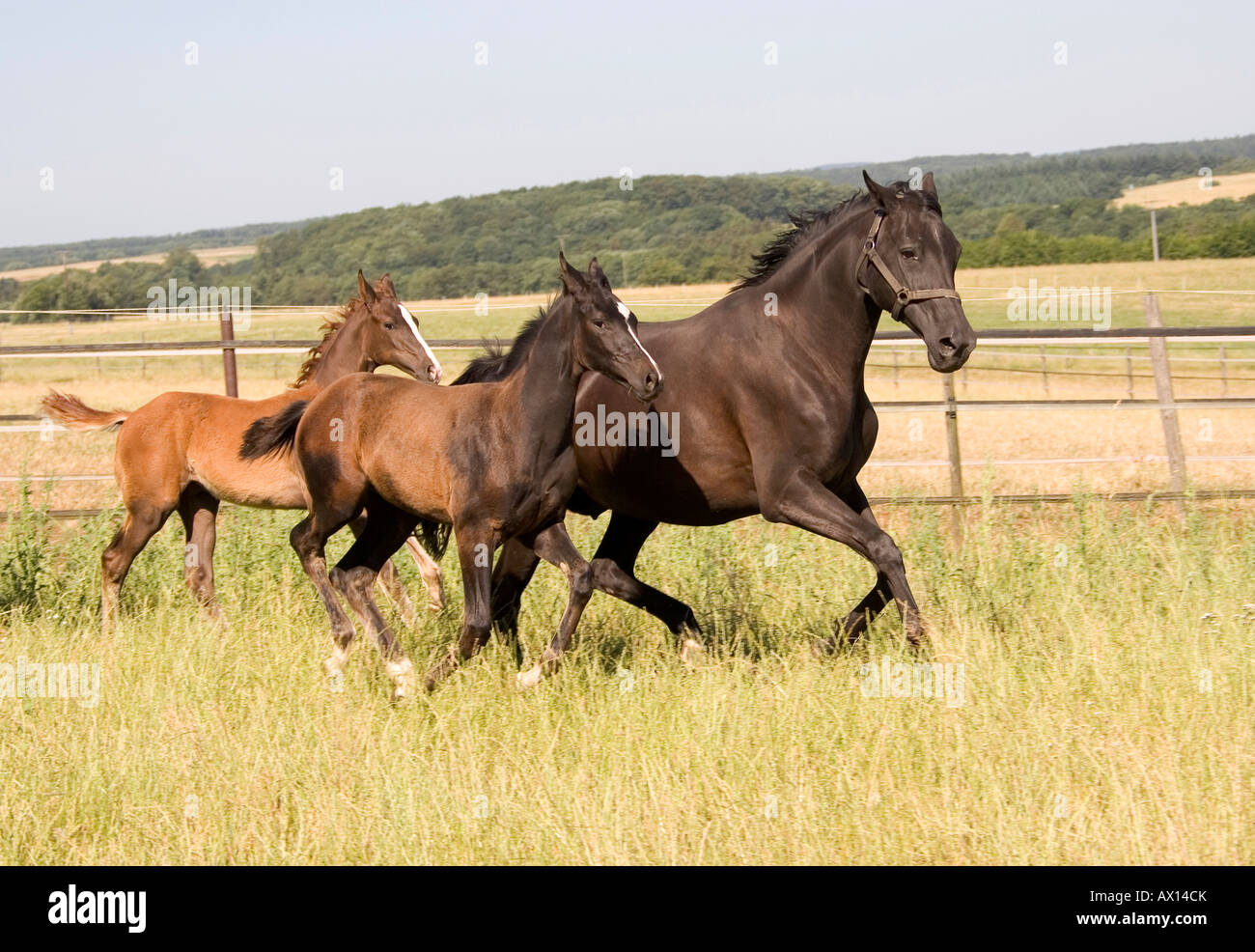 Black mare and foal galopping through meadow, Vulkaneifel, Germany, Europe - Stock Image