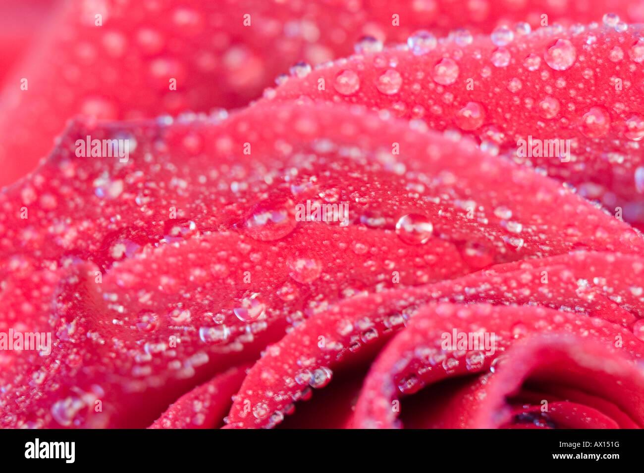 Detail shot of a rose, Vulkaneifel, Germany, Europe Stock Photo