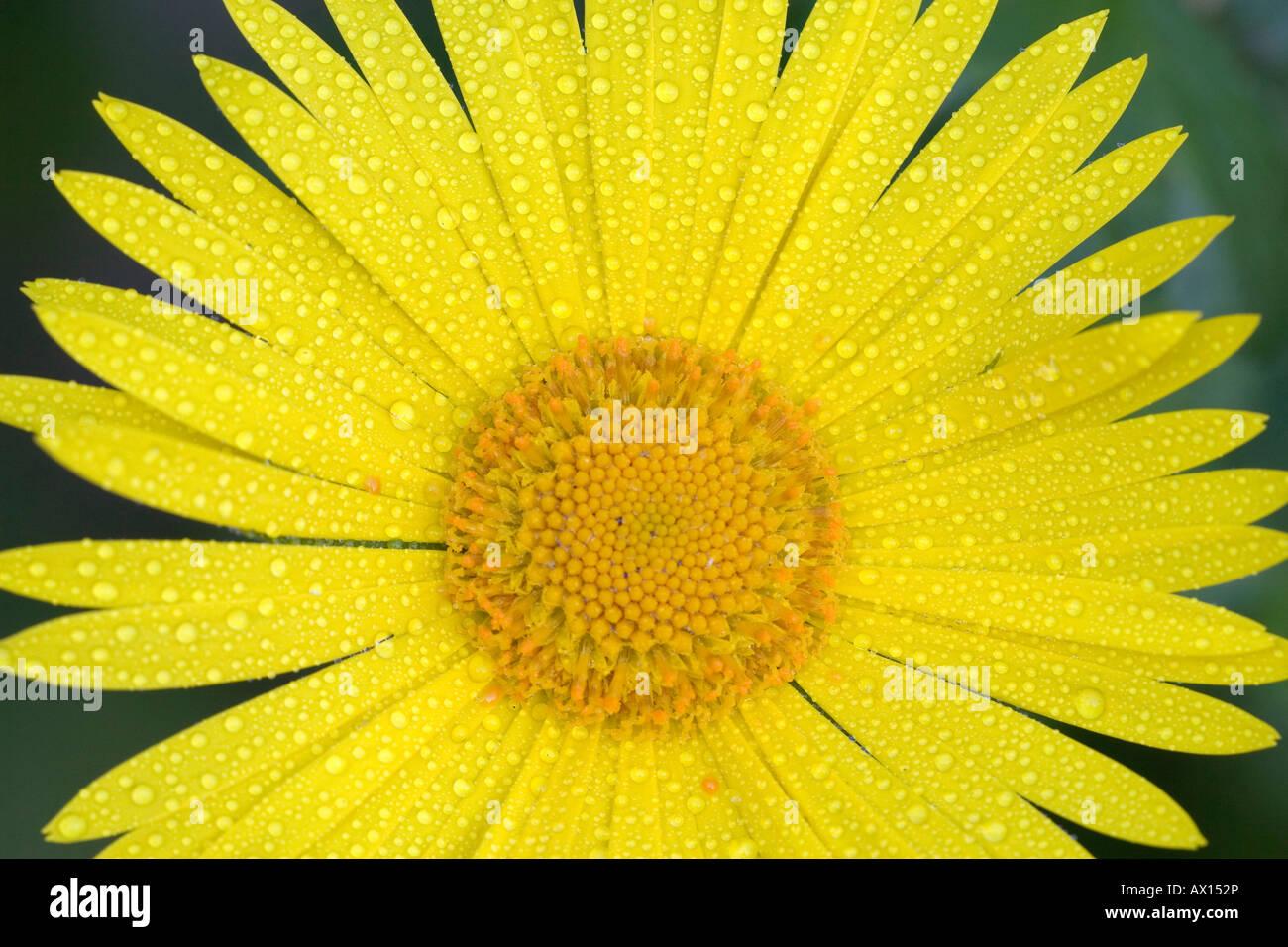 Detail shot of a garden flower, Vulkaneifel, Germany, Europe Stock Photo